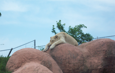 lazy-lion.png
